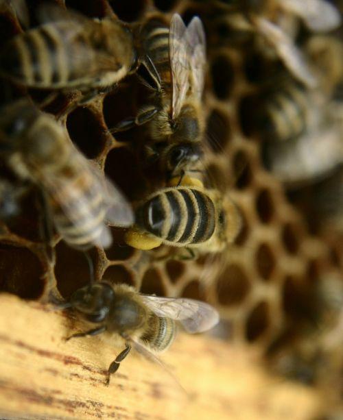 bees beekeeping honey bees