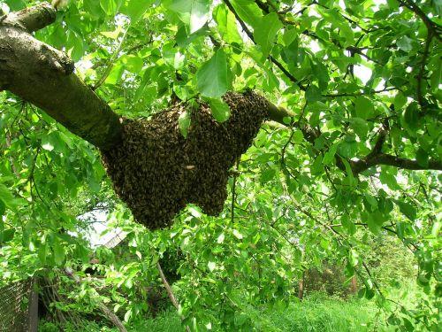 bees swarm apiary
