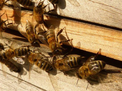 bees honey bees apis mellifera