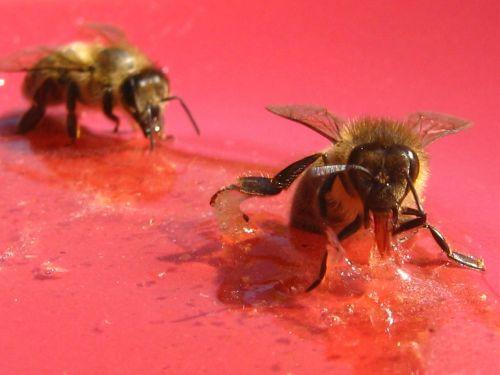 bitės,medus,apis mellifera,medaus BITĖ,vabzdžiai,apdulkintojas