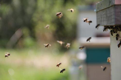 bees honey bees flight ins