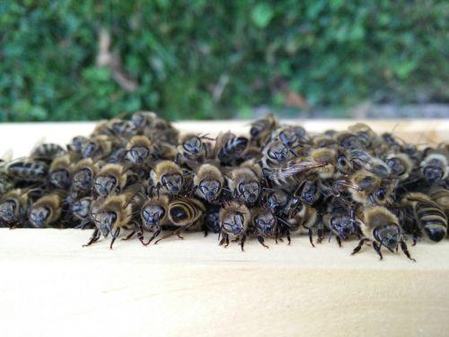 bees beekeeper honey bees