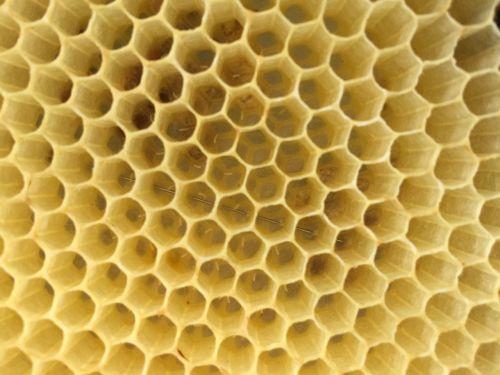 bees eggs honeycomb
