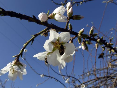 Bees In Apple Blossoms