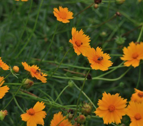 Bees Pollinating Daisies