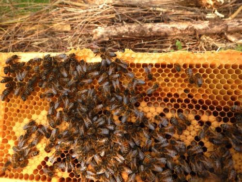 bees window beekeeper breeding