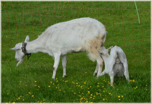 Goats 012