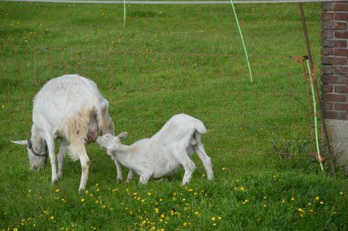 Goats 013