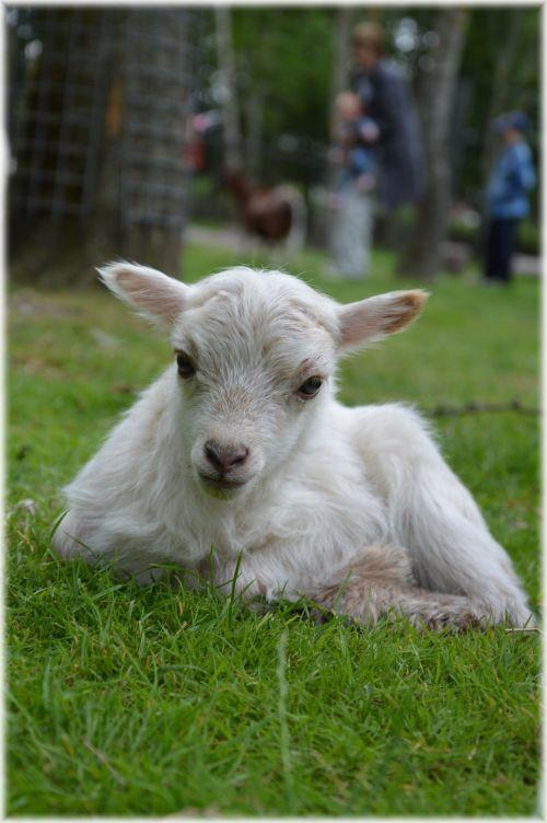 Lamb 05