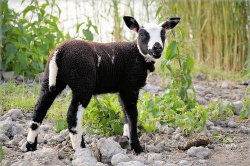 Lamb 06