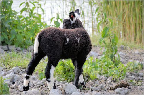 Lamb 08