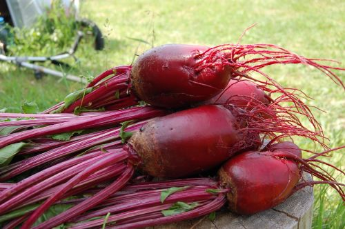 beet plant red