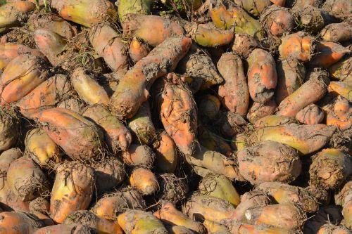 beet fodder fodder beet