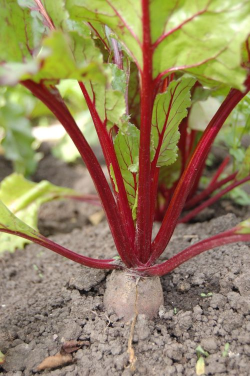 beet haulm vegetable garden