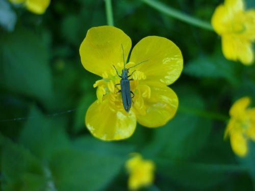 beetle dor beetles black beetle