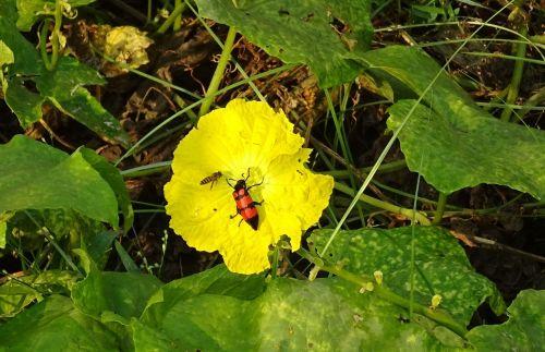 vabalas,vabzdys,oranžinis lizdinis vabalas,mylabris pustulata,kempinė moliūgas,gėlė,vynmedis,ghaziabad,Indija