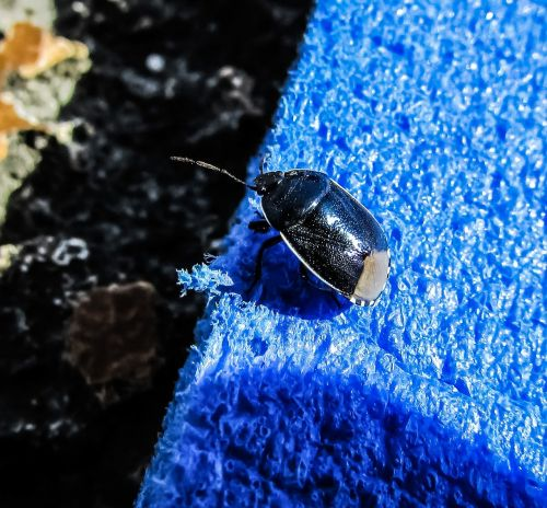 beetle blue colour