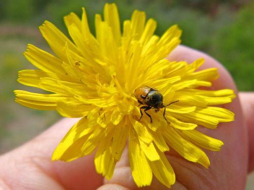 beetle dandelion tiny