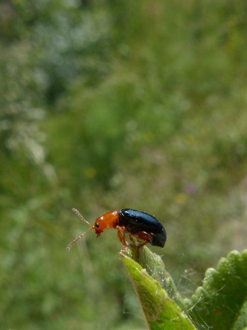 beetle coleoptera black and orange