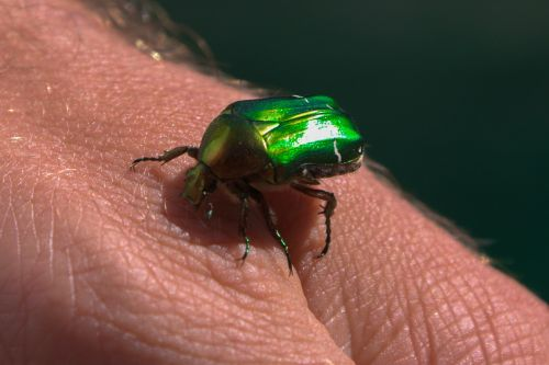 beetle green insect