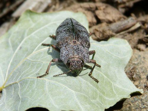 beetle golden scarab leaf