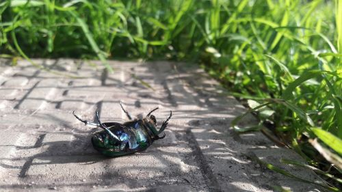 beetle chafer green