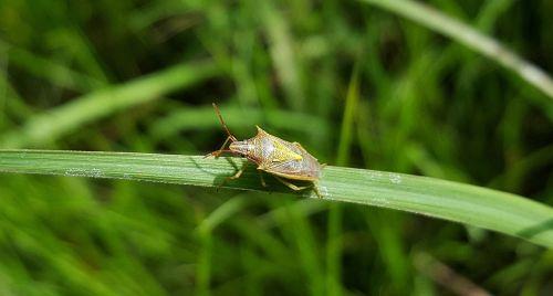 beetle bug stink bug