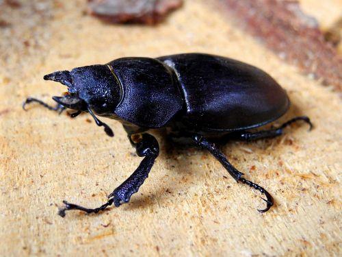 beetle roháč female