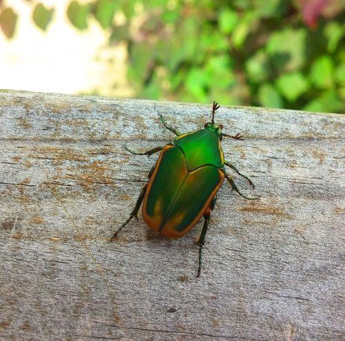 beetle figeater beetle green fruit beetle