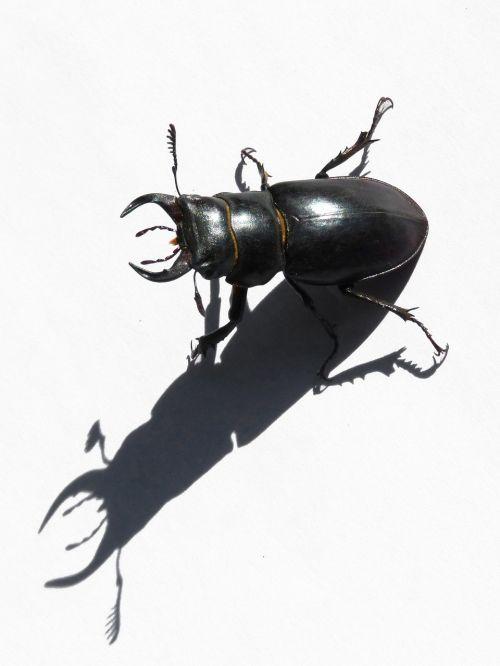 beetle lucanus cervus stag-beetle