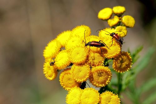 blossoms bock tansy beetle
