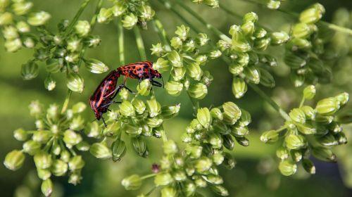 beetle red black