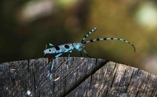 beetle blue longhorn