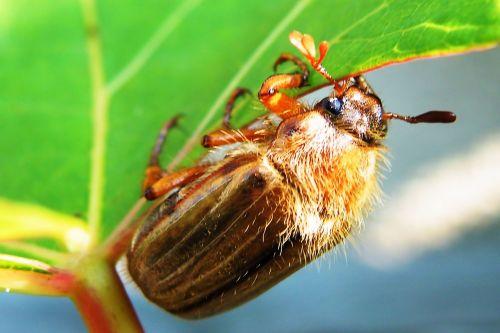 beetle maikäfer chafer