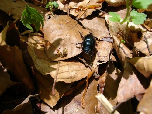 beetle forest insect