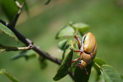 beetle wildlife bug