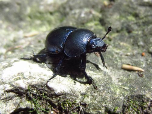 beetle insect black