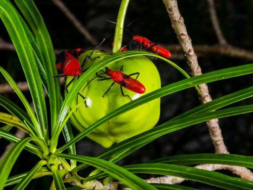 beetle red crawl