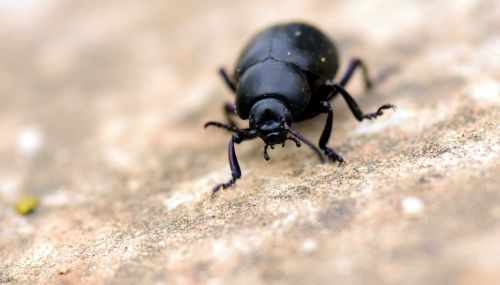 beetle black insect