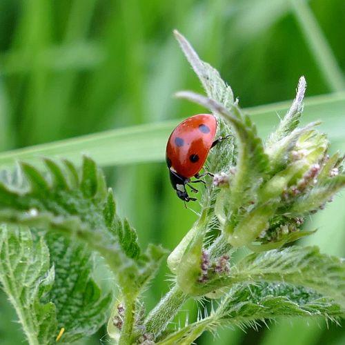 beetle ladybug stinging nettle