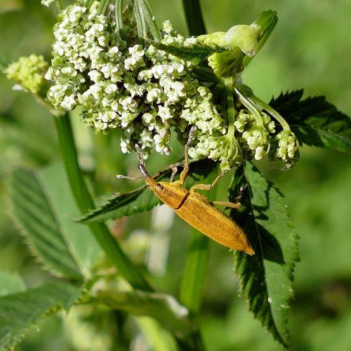 beetle water sorrel-stem weevil weevil insect