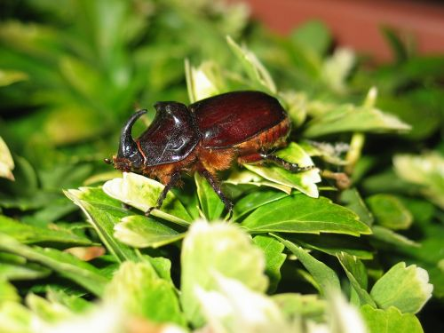 beetle large insect