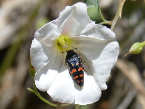 beetle orange and black flower