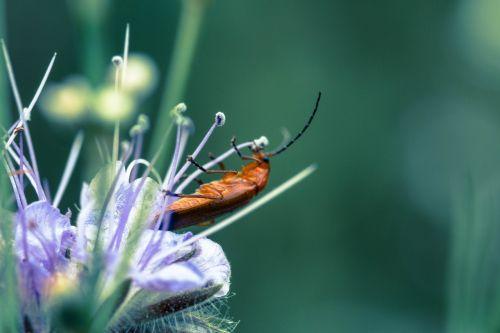 vabalas,gėlė,makro,vabzdys,žiedas,žydėti,gamta,gyvūnas,Uždaryti,žiedadulkės,mažas,mažas vabalas,augalas,mažas,sodas,violetinė,Bokeh