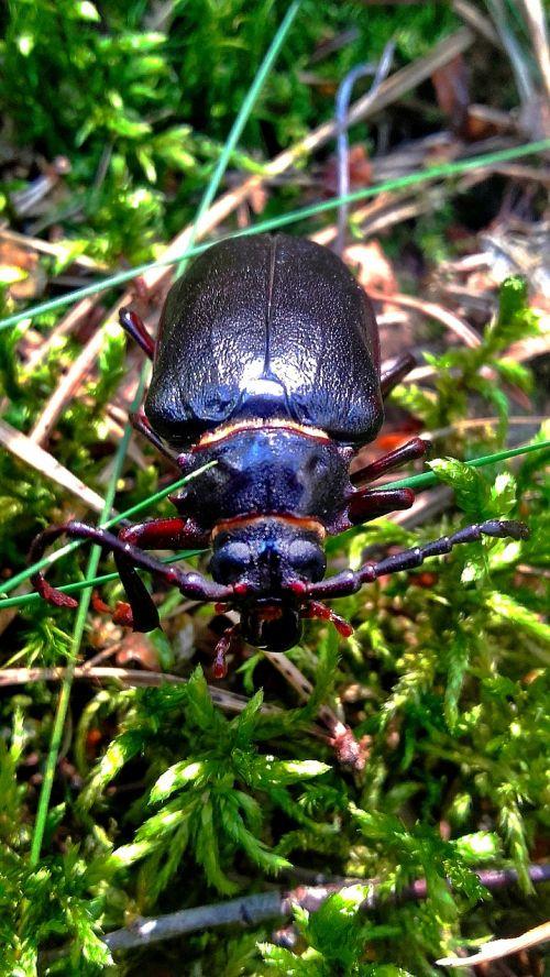 beetle maybug insect