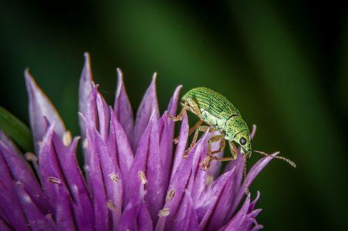 beetle macro green