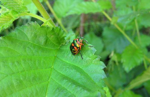 beetle garden pest