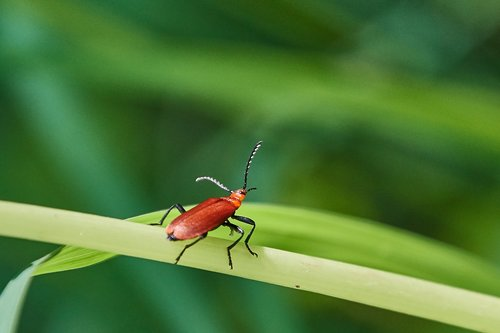beetle  red  plant