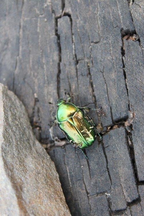 beetle  chafer  macro