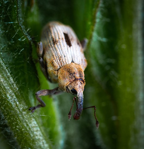 beetle  insect  coleoptera